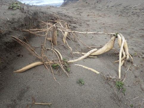 Sand verbena's underground root structure