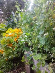 Nasturtiums, kale, and peas.