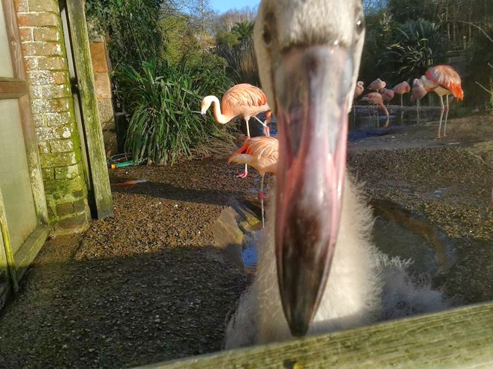 One of several hand reared Flamingo chicks in Jersey Zoo