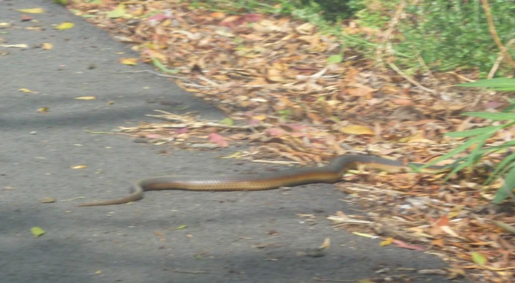 Brown Snake, Australia