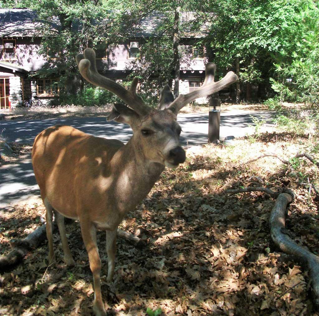 A deer in Yosemite Nation Park