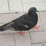 Pigeon in Key West FL