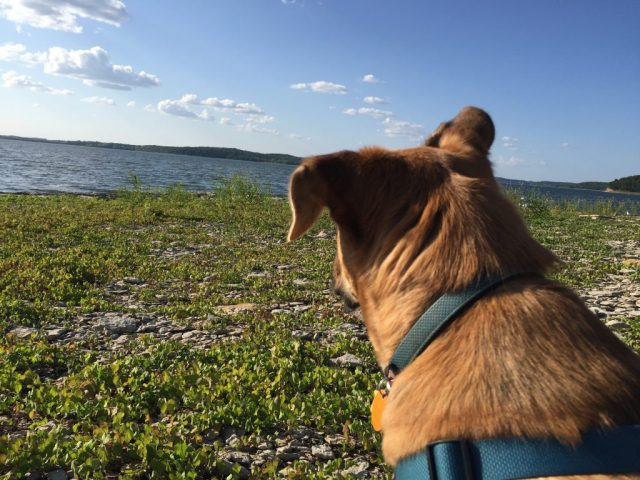 Dog looking at Perry Lake at Perry State Park Kansas