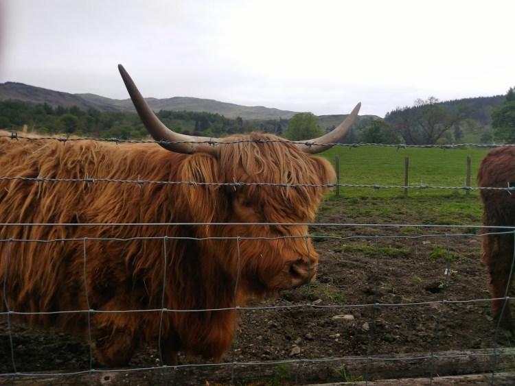 A tan Hairy Coo cow
