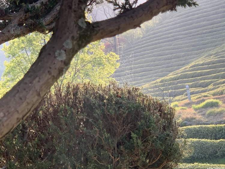 a close up image of a spiderweb reflecting in the sunset. Boseong travel guide tea fields in the background