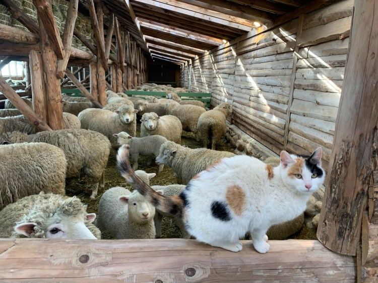 Cat in front of sheep