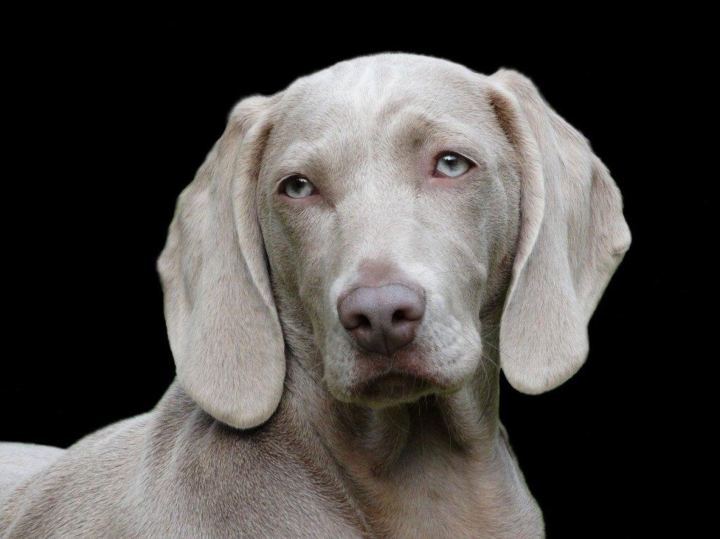 melatonin for dogs, is melatonin safe for dogs, melatonin dosage for dogs, melatonin for dogs dosage chart