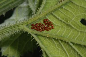 Squash bug eggs laid