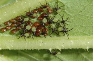 Squash Bug babies and nymphs hatch.
