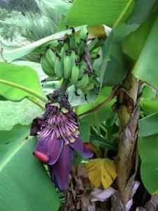 Flowering Lady Finger Banana Plant