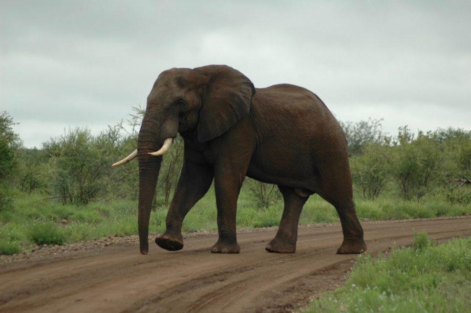 Elefant spærrer vejen i Kruger National Park