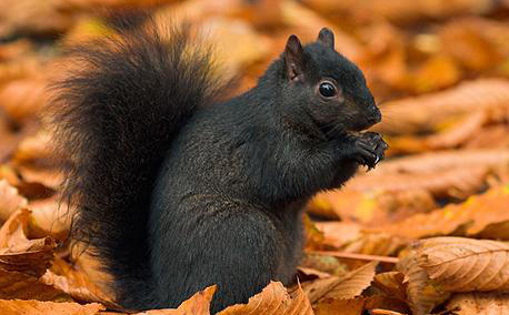 The Black Squirrels of Kent State University