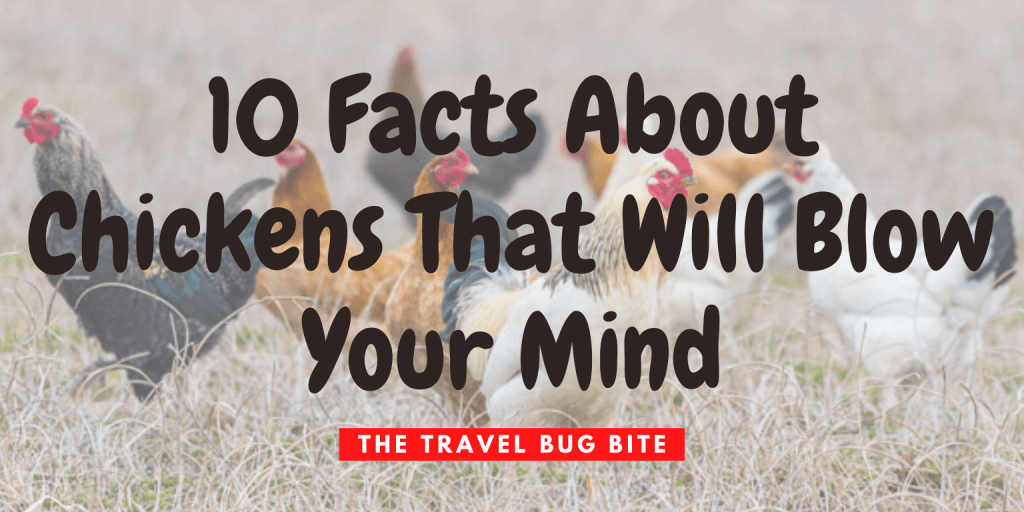 Facts About Chickens, 10 Facts About Chickens That Will Blow Your Mind, The Travel Bug Bite