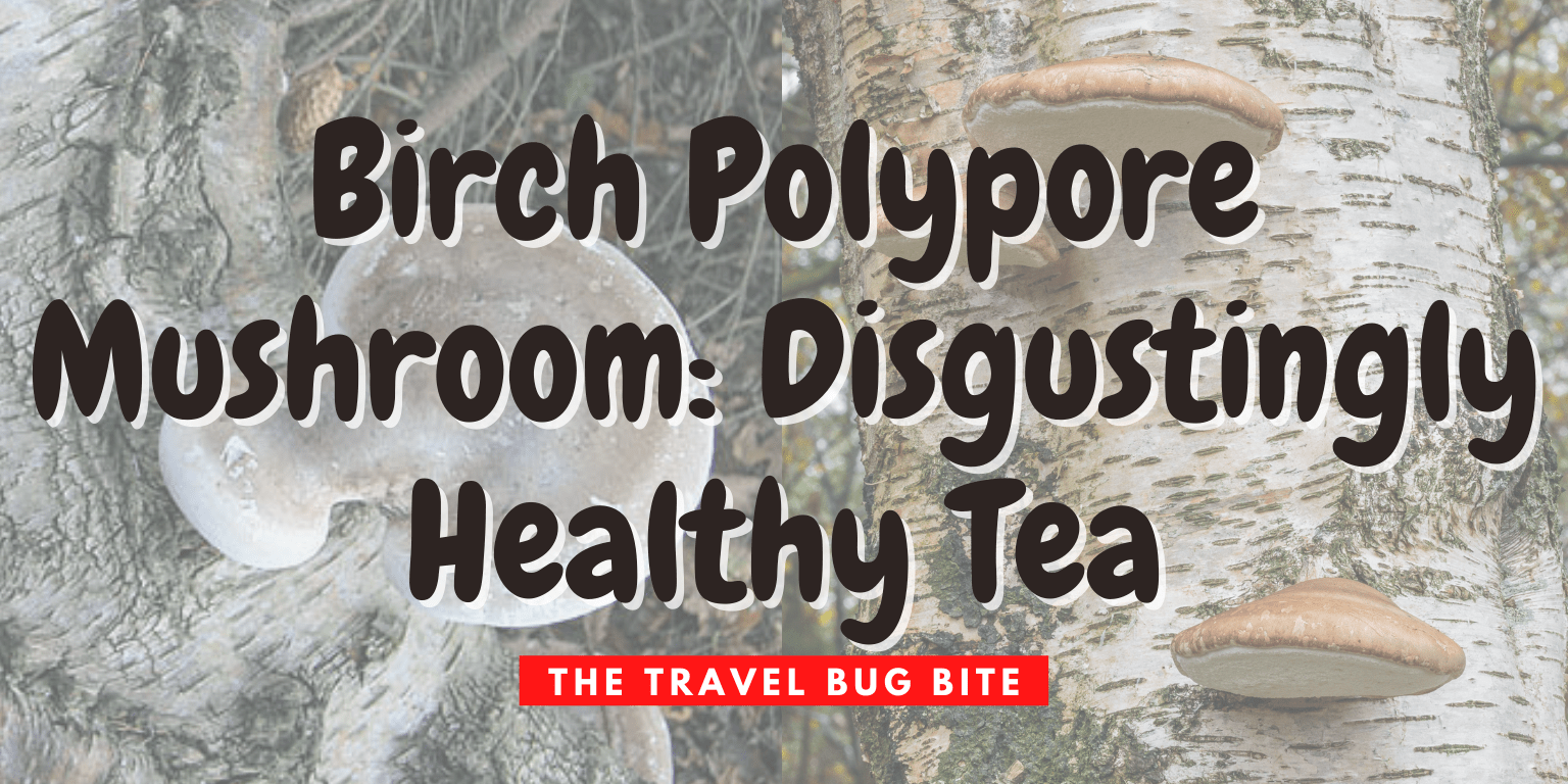 Birch polypore mushroom, Birch Polypore Mushroom: Disgustingly Healthy Tea, The Travel Bug Bite