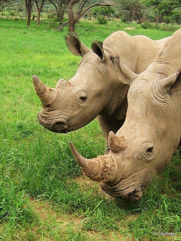 white-rhino-namibia