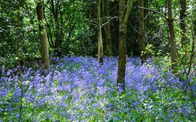 The Best Sussex Bluebell Wood