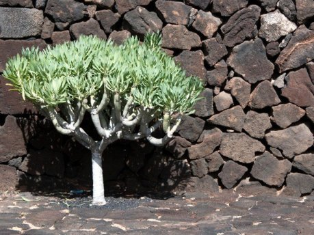 Tree at Jameos del Agua