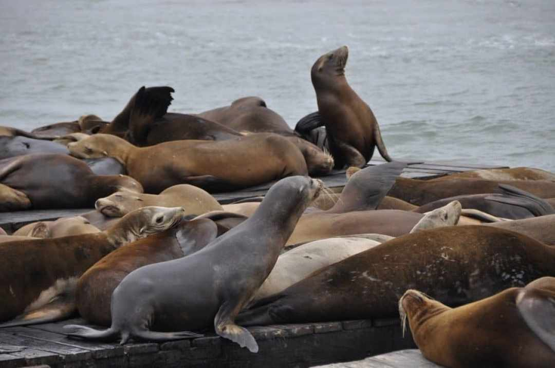Sea Lions on Pier 39, San Francisco