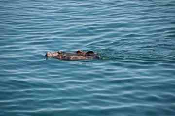 Sea Otters, Monterey
