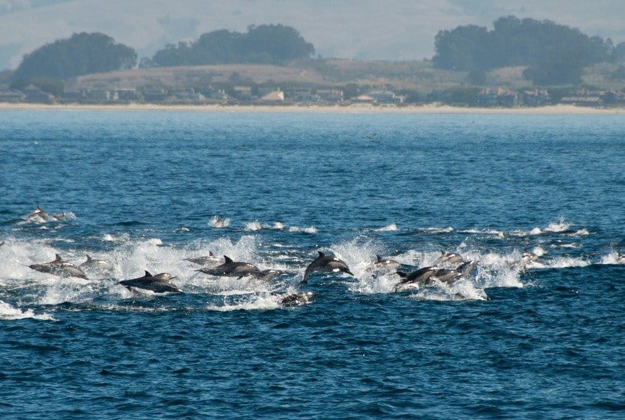 Dolphins fleeing orca attack