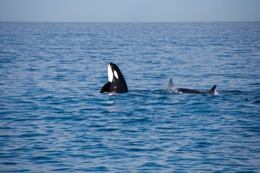 Spy-hopping Orca whale
