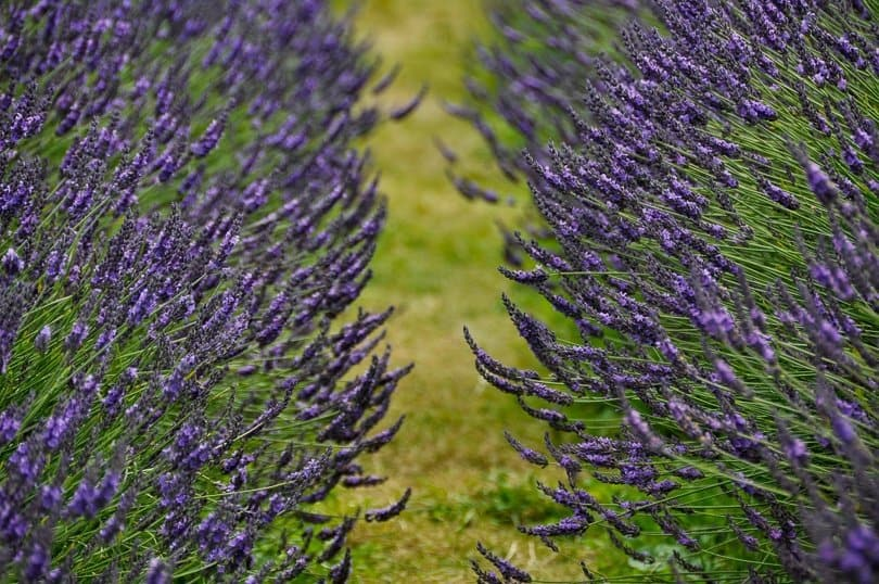 lavender-field-close-up