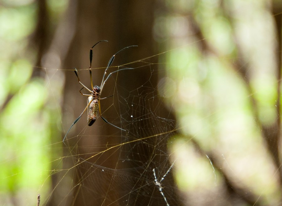 Amazon-jungle-spider