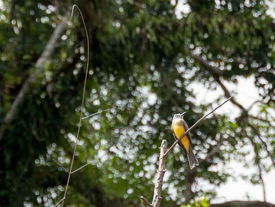 Flycatcher-amazon-jungle