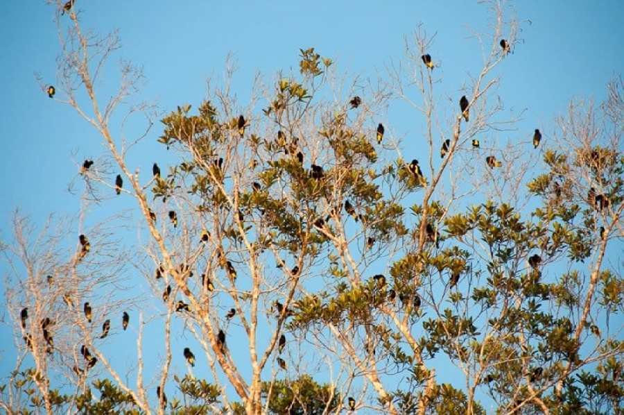 oreole-birds-amazon-jungle