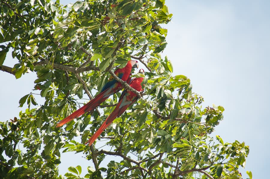 Pair of Scarlet Macaws