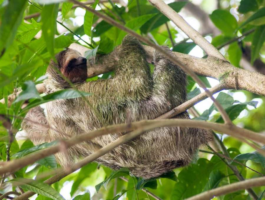 Sloth, Cost Rica