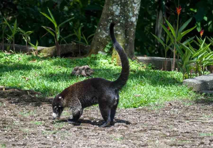Coati, Costa Rica