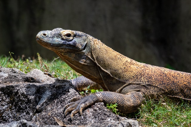 what-is-the-national-animal-of-indonesia