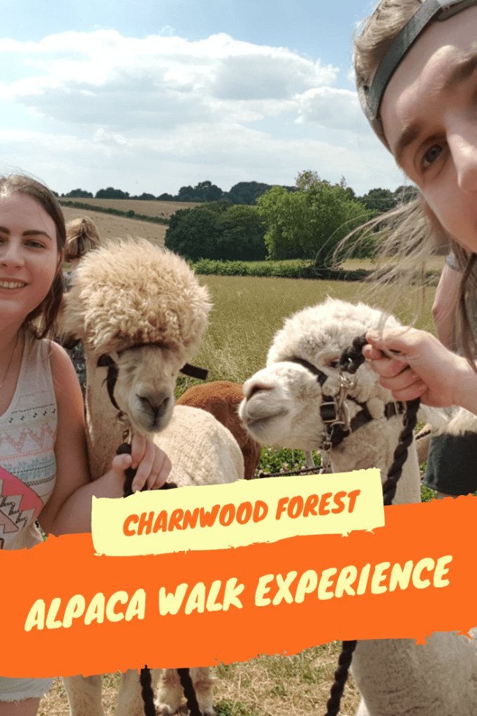 Review of Charnwood Forest Alpaca walk experience in Loughborough, UK. A unique exotic animal experience in the heart of England #alpacas #uk #animalexperience