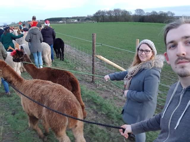 A guy and girl walking alpacas on leads infront of a crowd of other alpacas