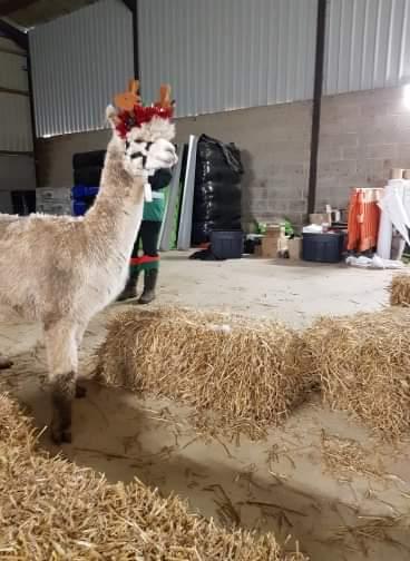 Alpaca wearing reindeer antlers inside a barn with hay bales
