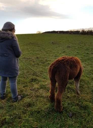 Alpaca on a lead being led by a girl both with their backs to the camera