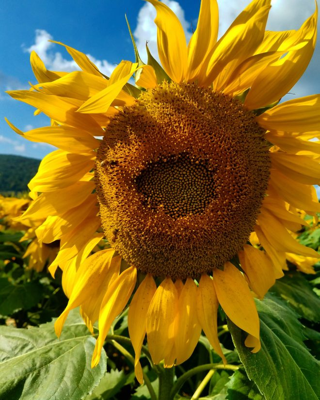 Donaldson Farms, sunflowers, festival