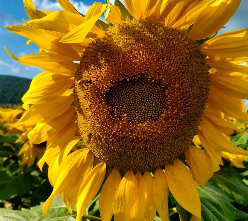 Donaldson Farms, sunflowers, festival