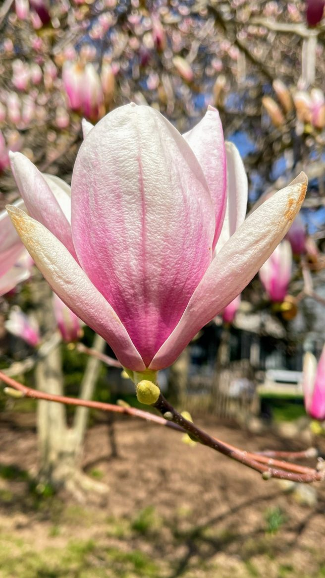 Spring Bloom at Princeton University