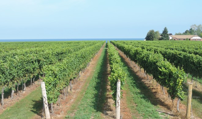 Grape vines at Konzelmann Estate Winery