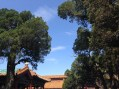 Trees and blue sky viewed from the garden inside the Forbidden City.