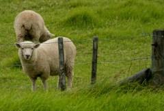 2016 04 01 Sail Day 3 Urupukapuka Island Sheep-102