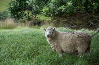 2016 04 01 Sail Day 3 Urupukapuka Island Sheep-126