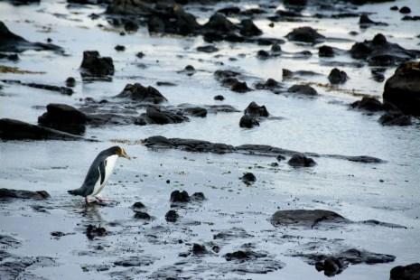 2016 04 23 Yellow Eyed Penquins Curio Bay (229)