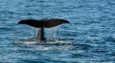 2016 05 05 Kaikoura Whales-229