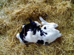 A newborn calf - Miller, Nebraska