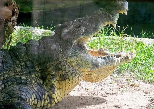 Alligator, Busch Gardens Tampa Bay