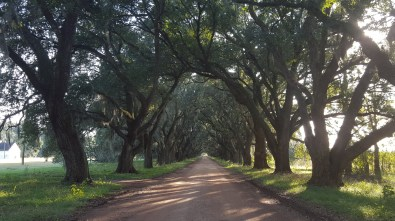 Living Oak trees lining the driveway to the back of the house