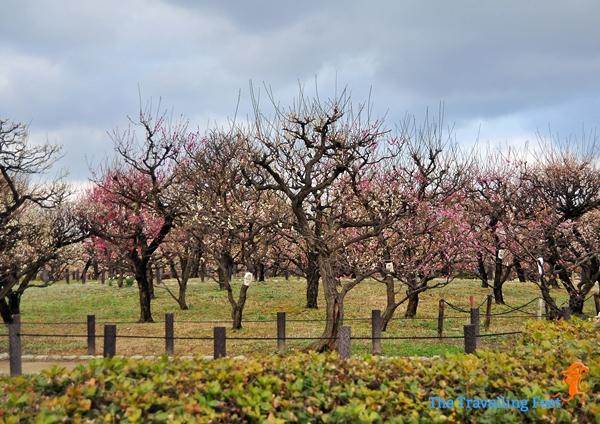 Osaka Plum Garden